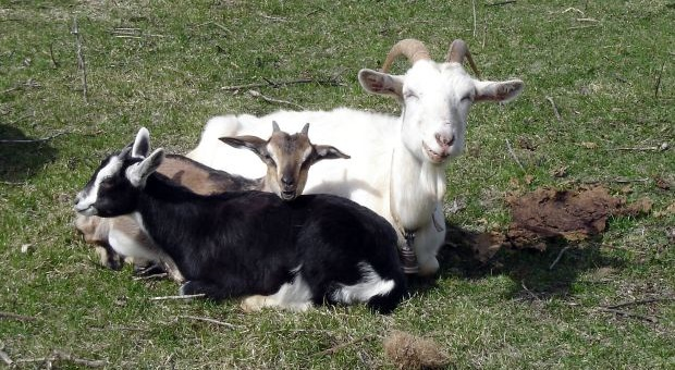 White goat with two baby goats sitting on grass
