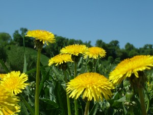 Survivopedia survival edibles Dandelions