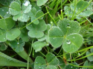detail of edible three leaf clover