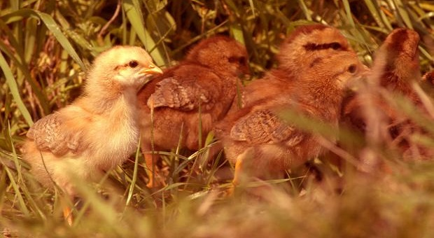 Four brown chicks and one yellow chick in the grass