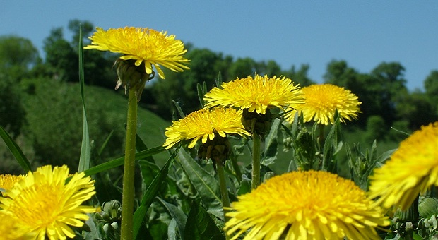 Dandelions on a field