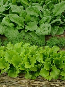 closeup of lettuce leafs