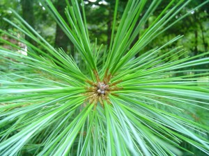 detail of edible pine tree needles