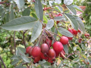 Survivopedia survival edibles rose hips