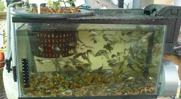 Fish for aquaponics system survivopedia for Hydroponic system with fish
