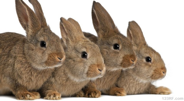 Four brown rabbits on white background