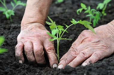 hands planting vegetables in soil