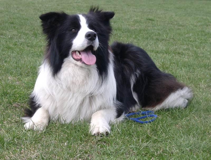 Best Herding Dogs For Families