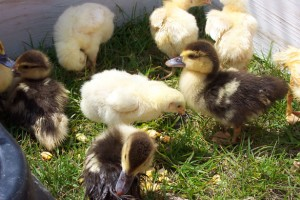 chicks-and-ducklings-23441280233424wiv3