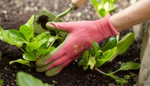 Hand with red gardening glove, planting vegetables in soil