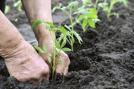 Hands putting plant in soil