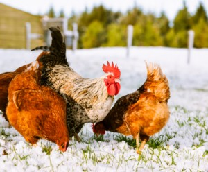 get chickens ready for winter