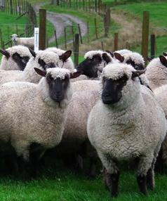 shropshire sheef