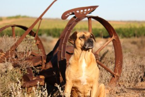 dog protecting farm