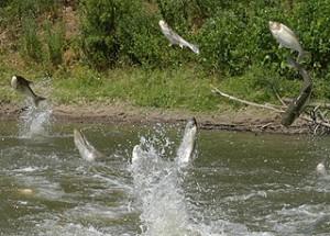 jumping-fish-front