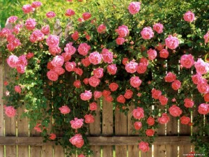 Climbing variety of roses