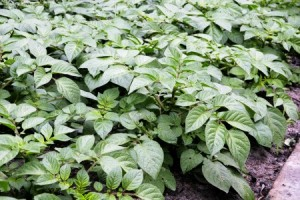 Potato_plants