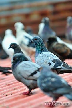 Survivopedia Pigeons