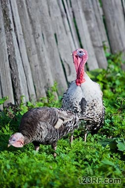 Survivopedia Turkeys Food