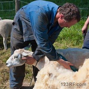Survivopedia_sher sheep