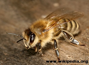 Survivopedia_Carniolan Bee