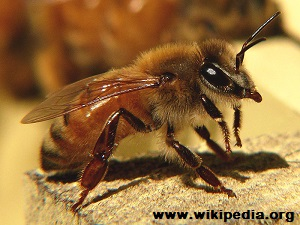 Survivopedia_ Italian Bee