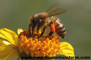 Survivopedia_Russian Bee