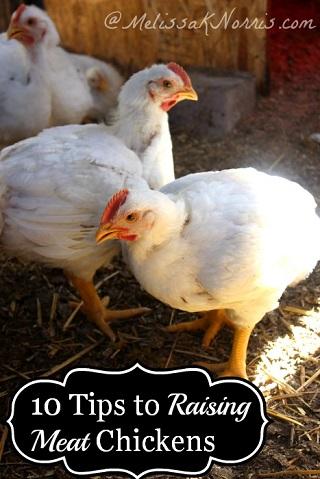 Survivopedia Chickens