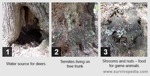 Water source for deers Termites living on tree trunk Shrooms and nuts – food for game animals