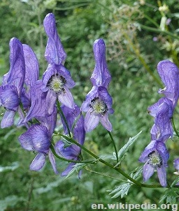 Survivopedia Wolfsbane Plants that Kill
