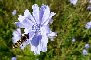 Survivopedia Backyard medicinal weeds