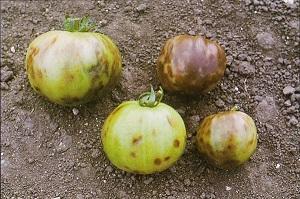 Survivopedia Diagnose a Tomato Disease