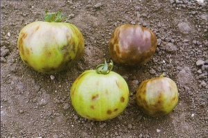 Survivopedia Diagnose a Tomato Disease
