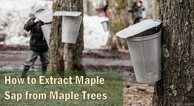 Maple_Sap