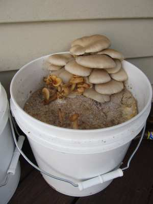 mushrooms in a five gallon bucket