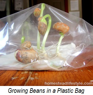 growing beans in plastic bag