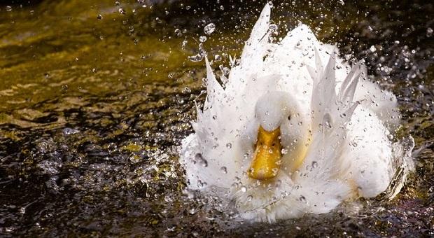 duck waterproof feathers