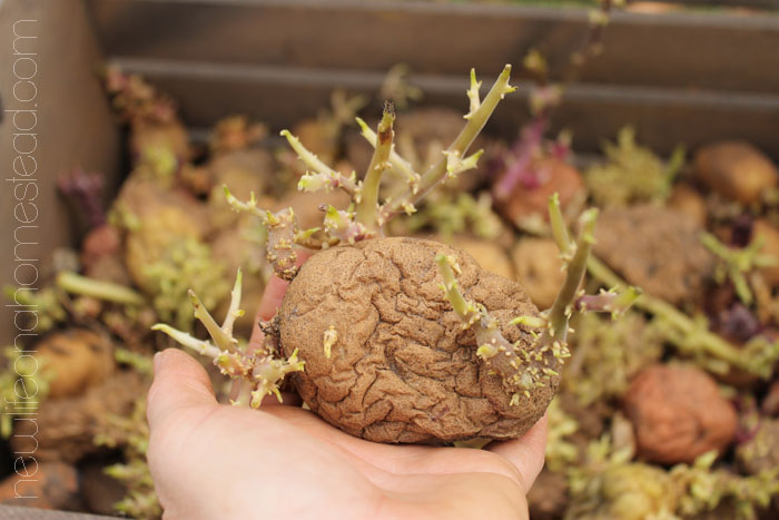 Grow potatoes
