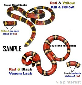Coral snake versus Louisiana Milk Snake