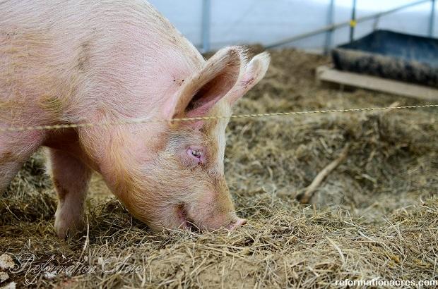 Hog weight