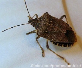 Spined Soldier Bug (Podisus maculiventris)