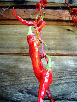 Air drying peppers