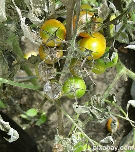 diseased tomato