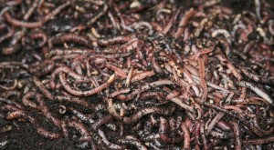 Vermiculture: Basic Guide For Beginners