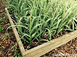 raised beds garlic