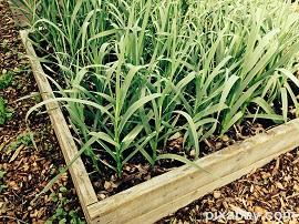raised beds garlic