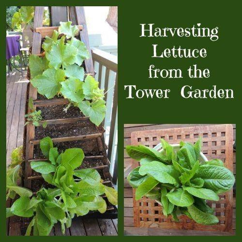 harvest lettuce