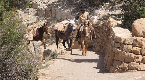 mules and horses