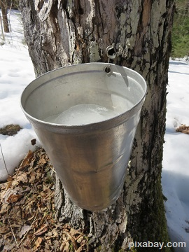 tap maple