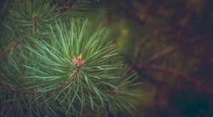 How To Use Pine Trees For Survival